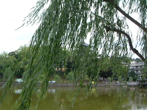 柳の木と猿沢池