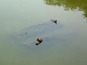 猿沢池のスッポン