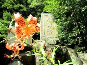 等彌神社のオニユリ