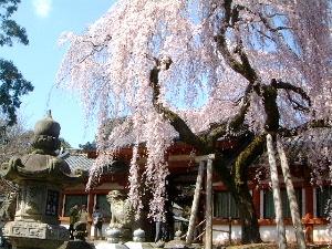 氷室神社の枝垂れ桜