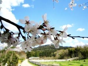 山の辺の道の桜 桧原神社