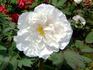 純白の牡丹 長谷寺
