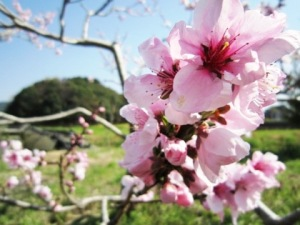 崇神天皇陵と梅の花