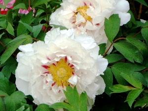 長谷寺の牡丹 白い牡丹
