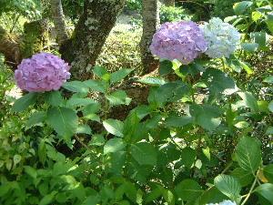 玄賓庵の紫陽花
