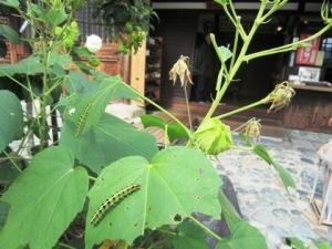 飛鳥寺の芙蓉 毛虫