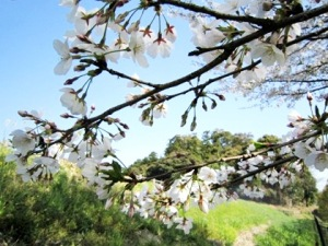 箸墓古墳の桜