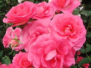 ピンクのばら おふさ観音