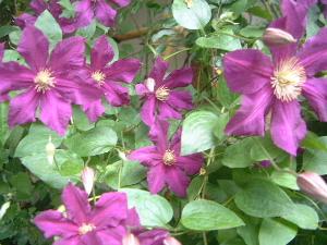 紫色のばら おふさ観音