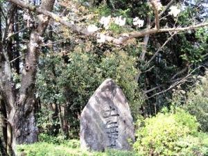 土舞台の桜 桜井市の桜