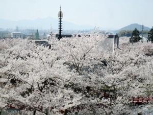 安倍文殊院の桜 二上山