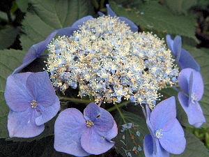 日本が原産地の紫陽花
