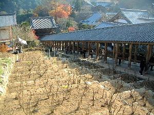 長谷寺のぼたんと登廊