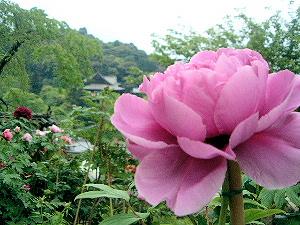 紫色のぼたん 長谷寺本堂