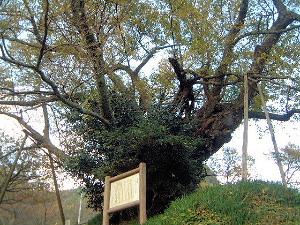 山桜の巨樹 仏隆寺