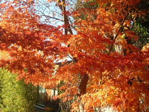 大安寺の紅葉