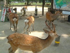 奈良公園の鹿 鹿せんべいの売店前