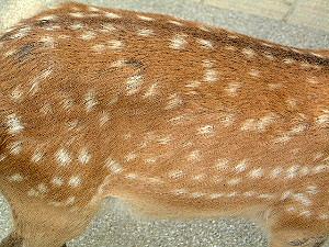 美しい毛並み 奈良公園の鹿