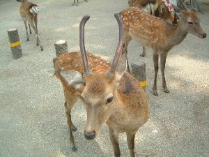 えさを求める奈良公園の鹿