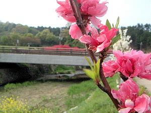 飛鳥川沿いの花 飛鳥橋
