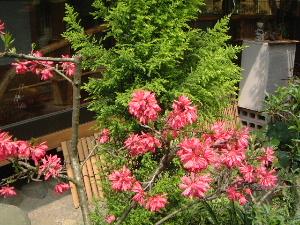和風庭園 中庭の花
