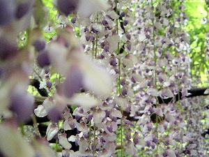 春日大社神苑の藤