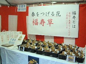 福寿草 大神神社