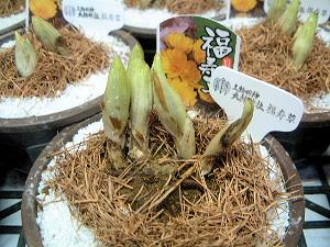 福寿草 大神神社 お正月