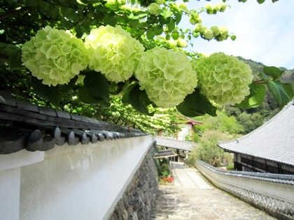 長谷寺のおおでまり
