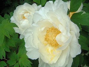 白い牡丹 GW 長谷寺の牡丹