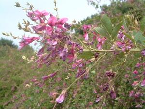 萩の花 明日香村
