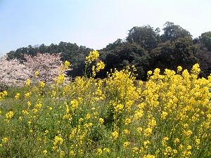 箸墓古墳と桜 花の風景