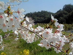 箸墓古墳の桜 高木美保さん取材
