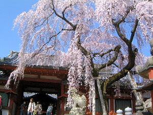 氷室神社 枝垂れ桜