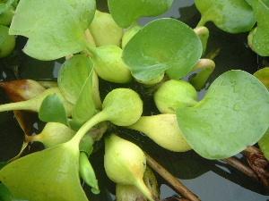 ホテイアオイの葉柄