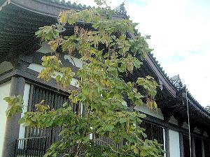 興福寺国宝館のキササゲ