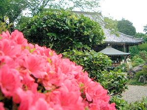 久米寺のツツジ