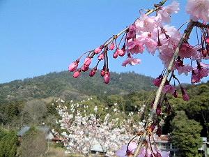 大神神社の桜 三輪山と桜