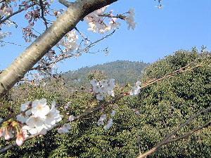 三輪山と桜 大神神社の桜