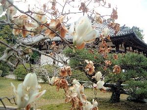 秋篠寺の木蓮 国宝の本堂