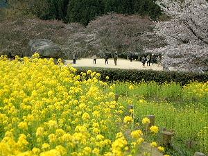 石舞台古墳 菜の花と桜