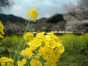 菜の花の開花 石舞台古墳