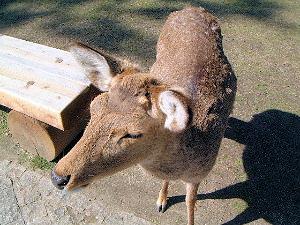 nara-deer44.jpg