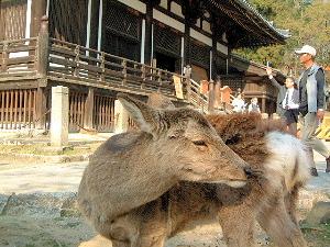 奈良の鹿 東大寺三月堂