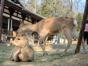 東大寺三月堂 奈良の鹿