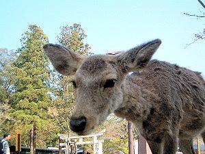 奈良の鹿 写真