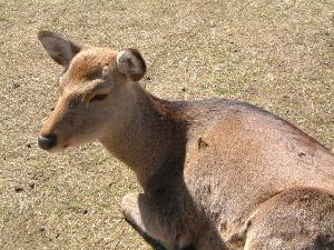 休憩する奈良公園の鹿