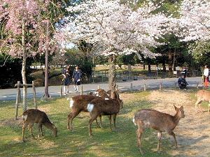 奈良の鹿 桜