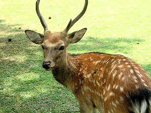 見返り鹿 奈良公園の鹿