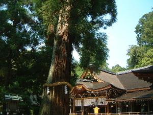 大神神社拝殿 巳の神杉